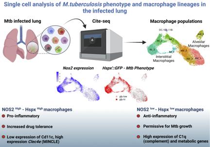 O metodă de analiză celulară ar putea determina strategii noi de vaccinare împotriva tuberculozei